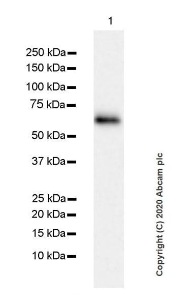 Western blot - Anti-Junctional Adhesion Molecule 1/JAM-A antibody [EPR23246-275] (ab270446)