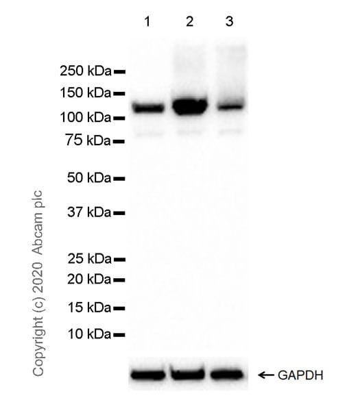 Western blot - Anti-NLRP3 antibody [EPR23073-96] (ab270449)
