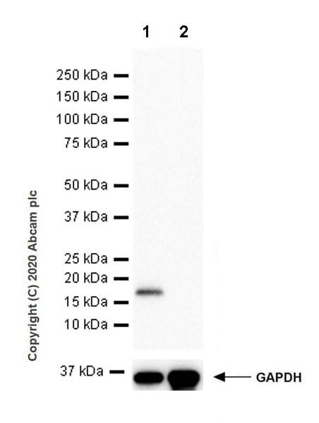 Western blot - Anti-Dhh antibody [EPR23386-212] (ab270453)