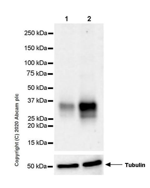 Western blot - Anti-TL1A antibody [EPR23330-2] (ab270456)
