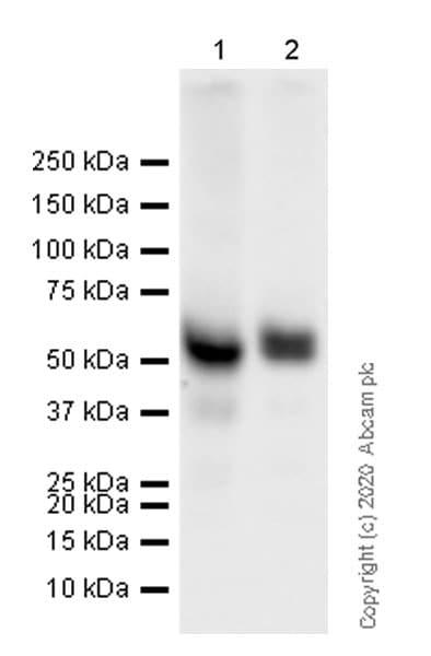 Western blot - Anti-BACE2 antibody [EPR23339-221] (ab270458)