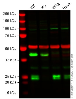 Western blot - Human CBFB knockout A-431 cell line (ab270472)