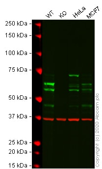 Western blot - Human PPP2R5D knockout A-431 cell line (ab270476)