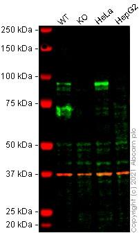Western blot - Anti-HIF1 beta antibody [EPR23106-151] - BSA and Azide free (ab270522)