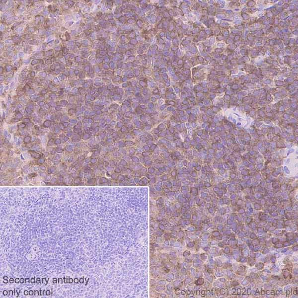 Immunohistochemistry (Formalin/PFA-fixed paraffin-embedded sections) - Anti-Ezrin antibody [EPR23353-55] - BSA and Azide free (ab270525)