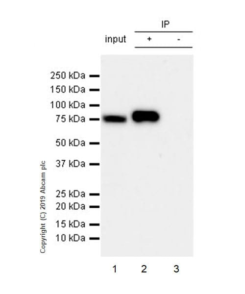Immunoprecipitation - Anti-Ezrin antibody [EPR23353-55] - BSA and Azide free (ab270525)