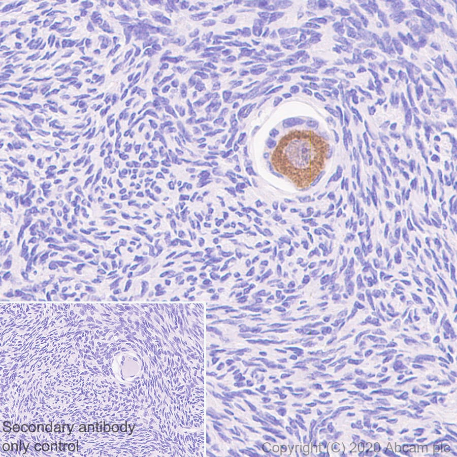 Immunohistochemistry (Formalin/PFA-fixed paraffin-embedded sections) - Anti-DDX4 / MVH antibody [EPR24148-58] (ab270534)