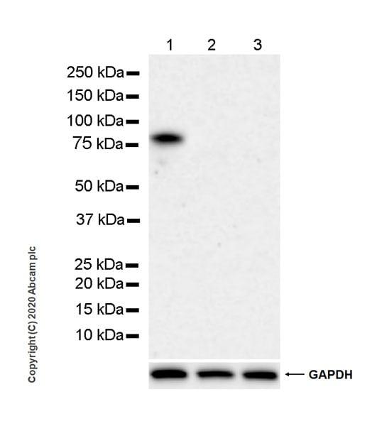 Western blot - Anti-DDX4 / MVH antibody [EPR24148-58] (ab270534)