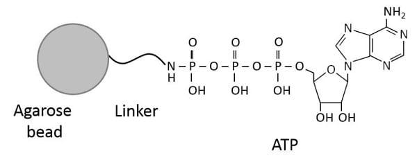 Other - ATP-Agarose (ab270535)