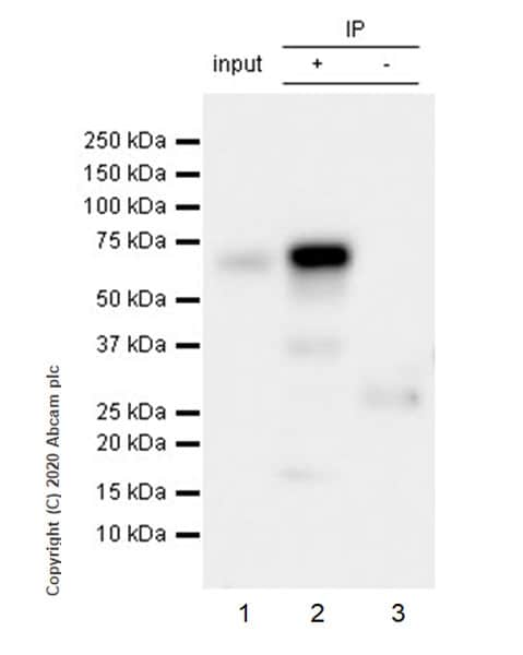 Immunoprecipitation - Anti-TFEB antibody [EPR22940-151] (ab270604)
