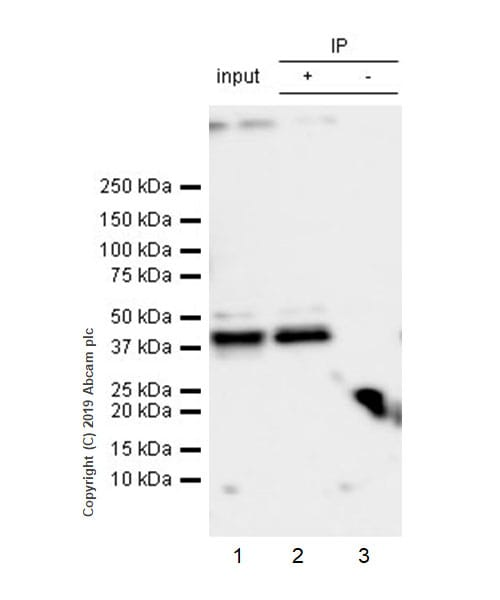 Immunoprecipitation - Anti-SerpinB2/PAI-2 antibody [EPR22924-49] - BSA and Azide free (ab270607)