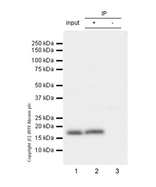Immunoprecipitation - Anti-IL36 alpha/IL-1F6 antibody [EPR23089-87] - BSA and Azide free (ab270608)