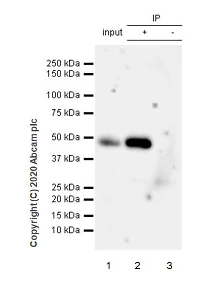 Immunoprecipitation - Anti-Pellino 1 + Pellino 2 antibody [EPR23275-22] - BSA and Azide free (ab270611)