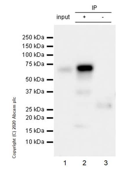 Immunoprecipitation - Anti-TFEB antibody [EPR22940-151] - BSA and Azide free (ab270614)