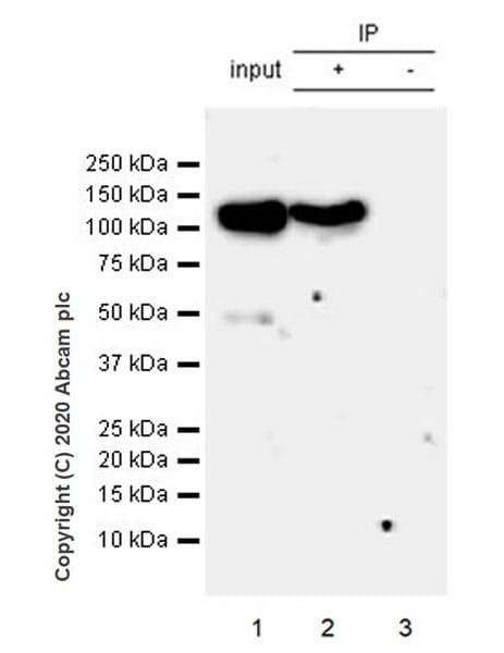Immunoprecipitation - Anti-Eg5 antibody [EPR23276-52] - BSA and Azide free (ab270754)