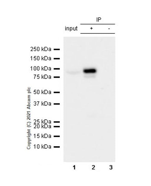 Immunoprecipitation - Anti-PCIF1 antibody [EPR24319-21] (ab271081)