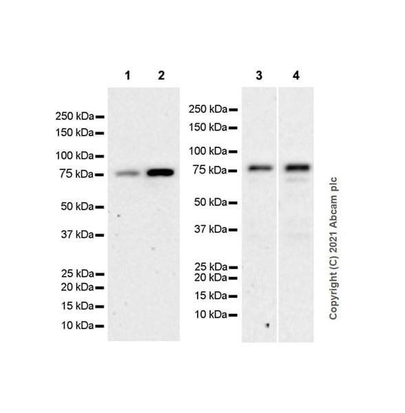 Western blot - Anti-PCIF1 antibody [EPR24319-21] (ab271081)