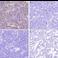 Immunohistochemistry (Formalin/PFA-fixed paraffin-embedded sections) - Anti-SARS-CoV-2 nucleocapsid protein antibody [EPR24334-118] (ab271180)