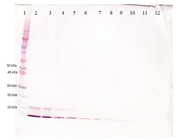 Western blot - Biotin Anti-CCL18 antibody (ab271200)