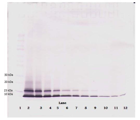 Western blot - Anti-GRO alpha antibody (Biotin) (ab271204)