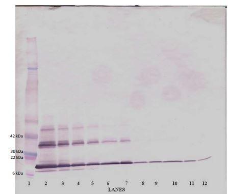 Western blot - Biotin Anti-TRAP/CD40L antibody (ab271210)