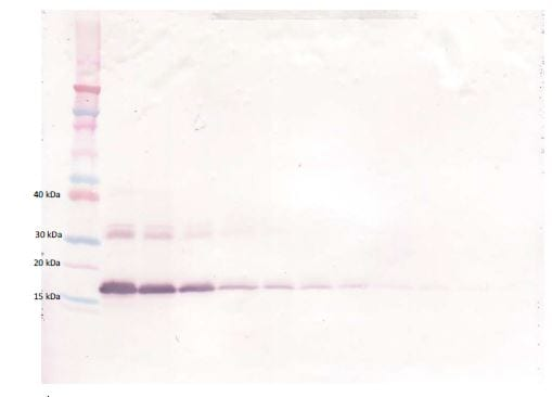 Western blot - Biotin Anti-TNF Receptor I antibody (ab271211)