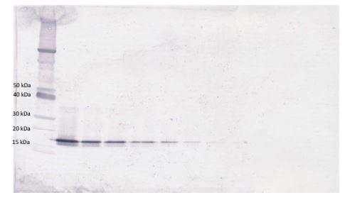 Western blot - Biotin Anti-BAFF antibody (ab271214)