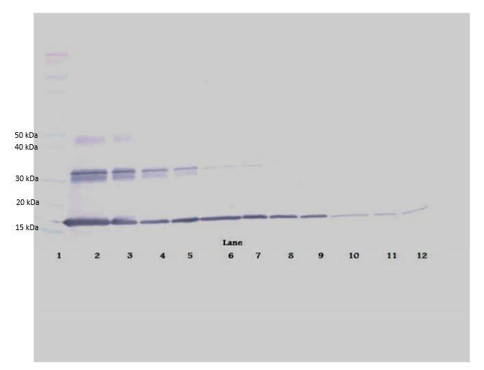 Western blot - Biotin Anti-IL-20 antibody (ab271219)