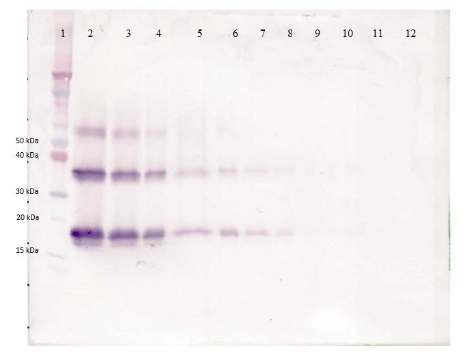 Western blot - Anti-KGF antibody (Biotin) (ab271221)
