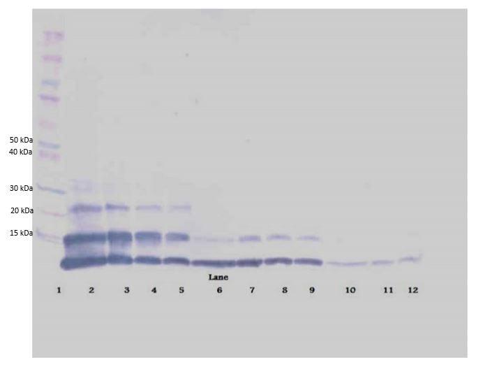 Western blot - Anti-RELM beta antibody (Biotin) (ab271225)