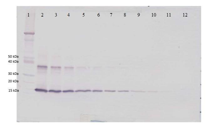 Western blot - Anti-IL-1 alpha antibody (Biotin) (ab271226)