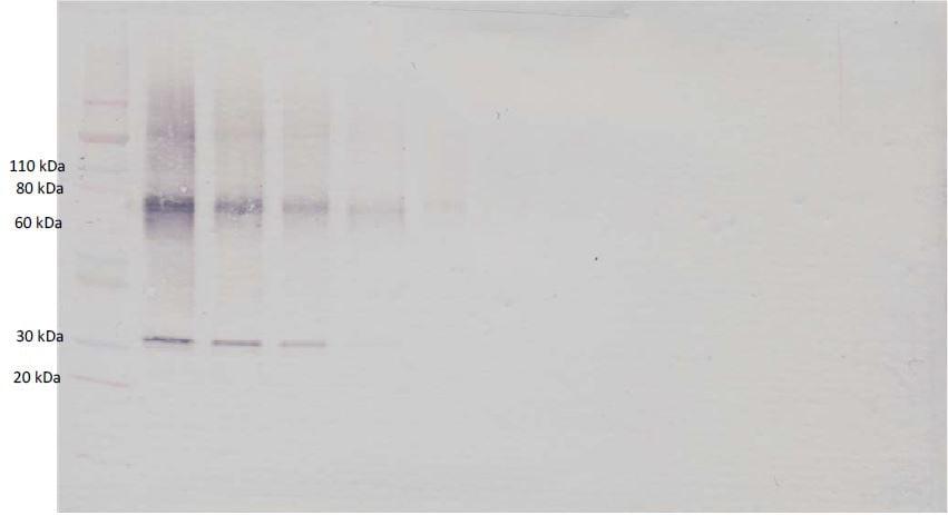Western blot - Anti-Adiponectin antibody (Biotin) (ab271231)