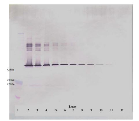 Western blot - Anti-PAI1 antibody (Biotin) (ab271234)