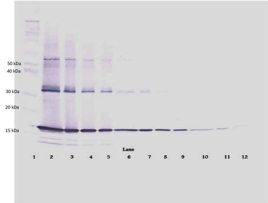 Western blot - Biotin Anti-TNF alpha antibody (ab271247)