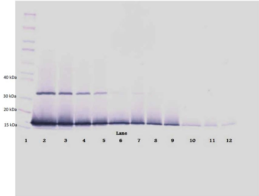 Western blot - Biotin Anti-Interferon gamma antibody (ab271249)