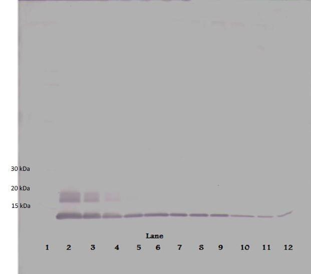 Western blot - Biotin Anti-MCP2 antibody (ab271251)