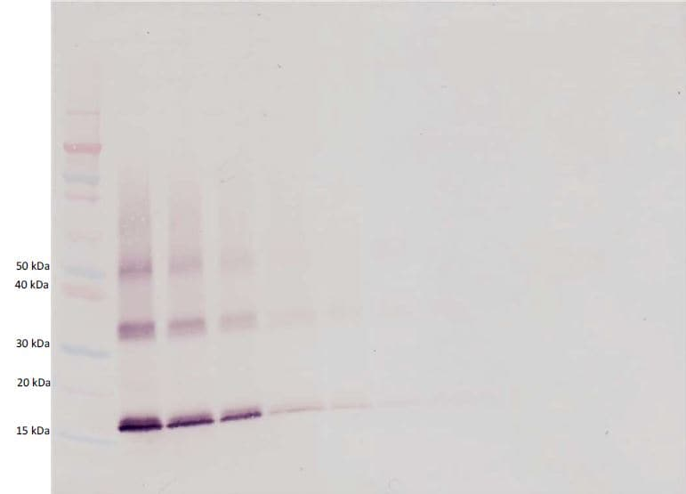 Western blot - Anti-TPO antibody (Biotin) (ab271257)
