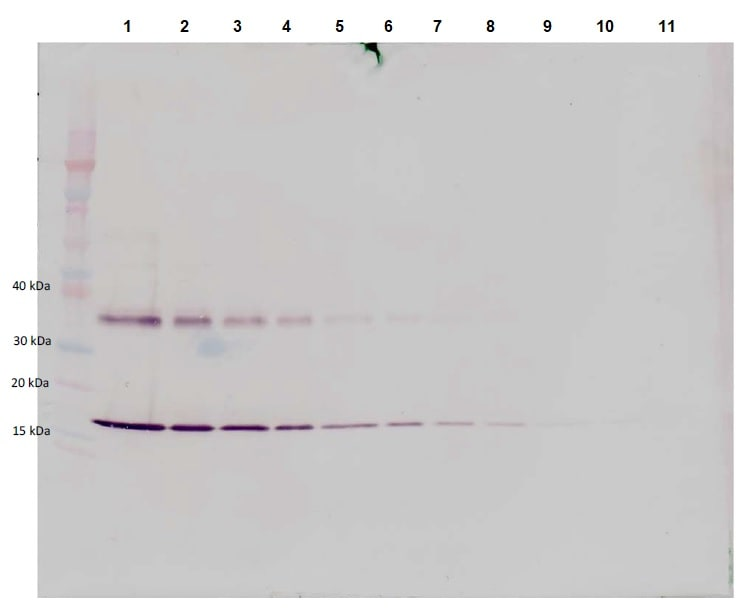 Western blot - Anti-IL-1 alpha antibody (Biotin) (ab271258)