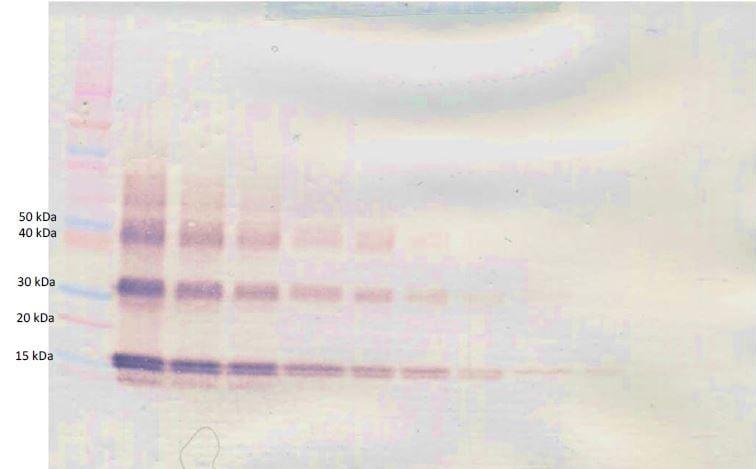Western blot - Anti-IL-3 antibody (Biotin) (ab271259)