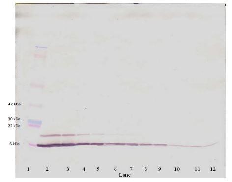 Western blot - Anti-RANTES antibody (Biotin) (ab271272)