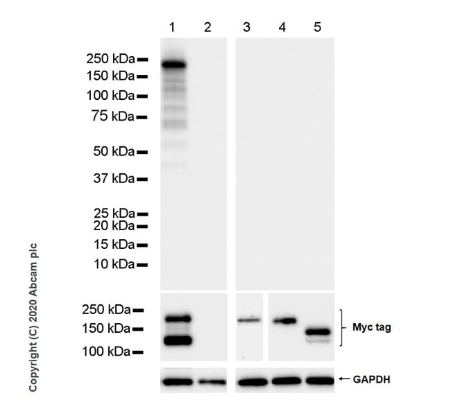 Western blot - Anti-CRISPR-Cas9 antibody [KANI345B] (ab271293)