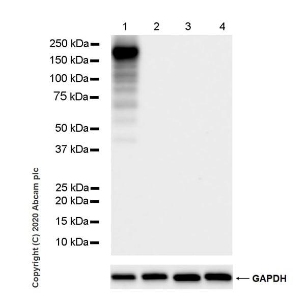 Western blot - Anti-CRISPR-Cas9 antibody [KANI345B] - BSA and Azide free (ab271303)