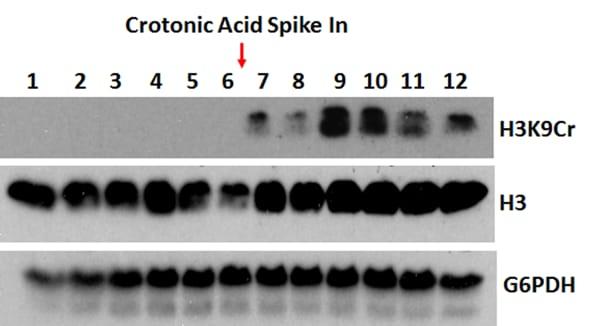 Western blot - Anti-Histone H3 (crotonyl K9) antibody [RM339] (ab271346)