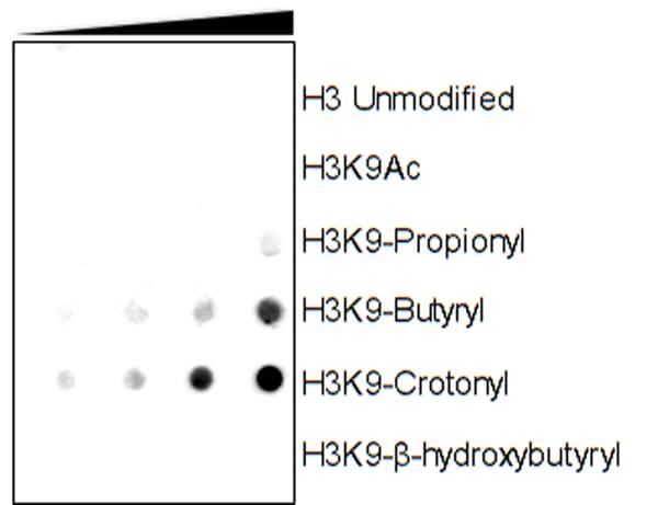 Dot Blot - Anti-Histone H3 (crotonyl K9) antibody [RM339] (ab271346)