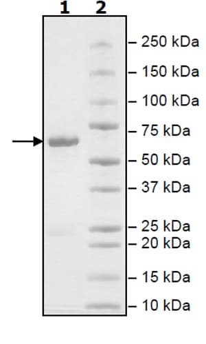 SDS-PAGE - Recombinant human Activin Receptor Type IA protein (Active) (ab271360)