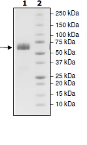 SDS-PAGE - Recombinant Human ANGPTL3 protein (Tagged) (ab271363)