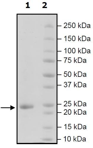 SDS-PAGE - Recombinant Human APRIL/TNFSF13 protein (Tagged) (ab271364)