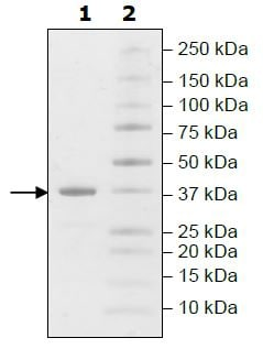 SDS-PAGE - Recombinant human Liver Arginase protein (Active) (ab271366)