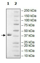 SDS-PAGE - Recombinant human Arg2 protein (Active) (ab271367)