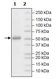 Functional Studies - Recombinant Human Axl protein (Tagged) (ab271369)